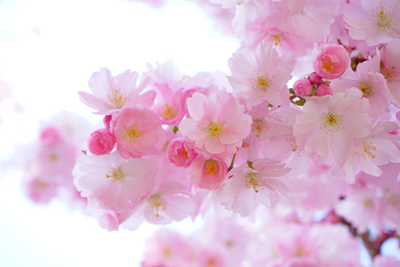 japanese-cherry-trees-324175_1280